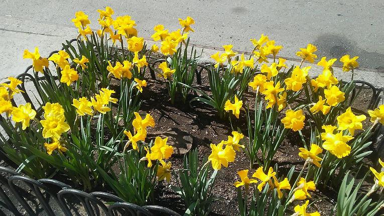 Yellow Daffodils 2.jpg