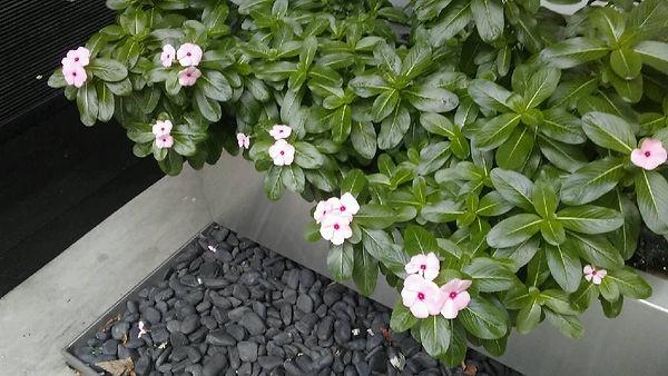 Petunia Pink 1.jpg
