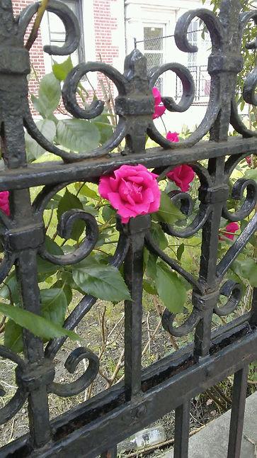 Rose in between Gate.jpg