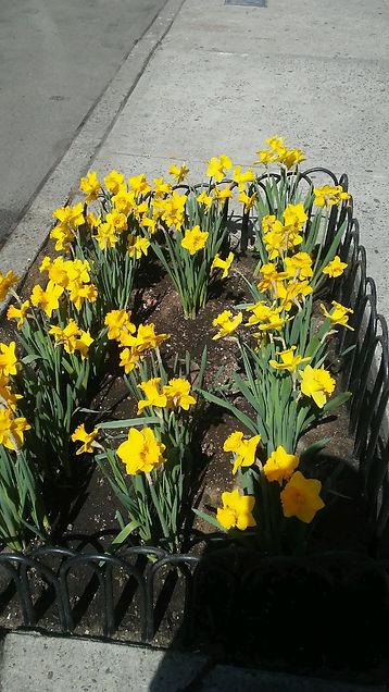 Yellow Daffodils 1.jpg