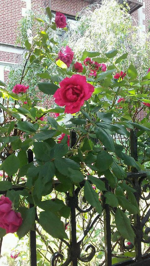Close Up Rose Tree.jpg