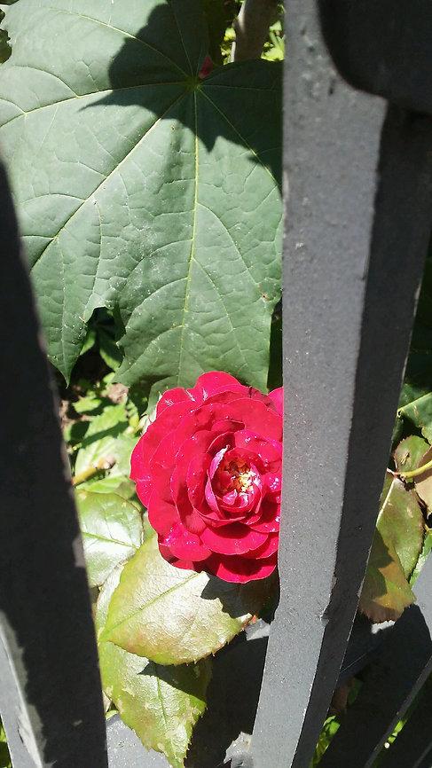 Hiding Rose.jpg