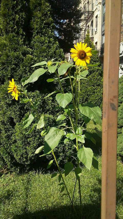 Sunflowers 1.jpg
