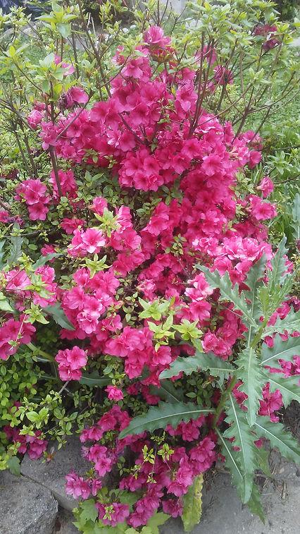 Grandma's Pink Flowers.jpg