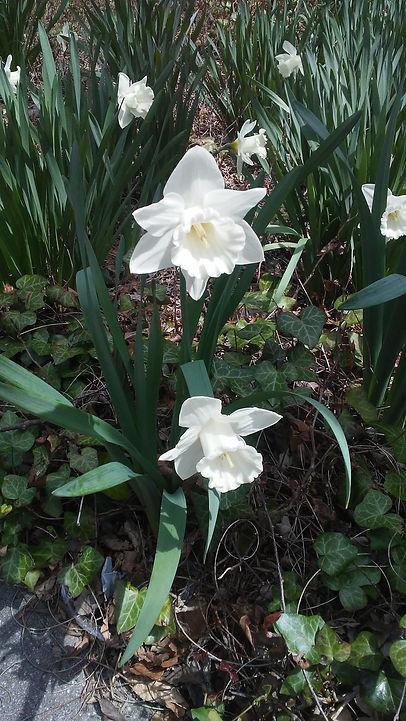 White Magnolia Flower.jpg