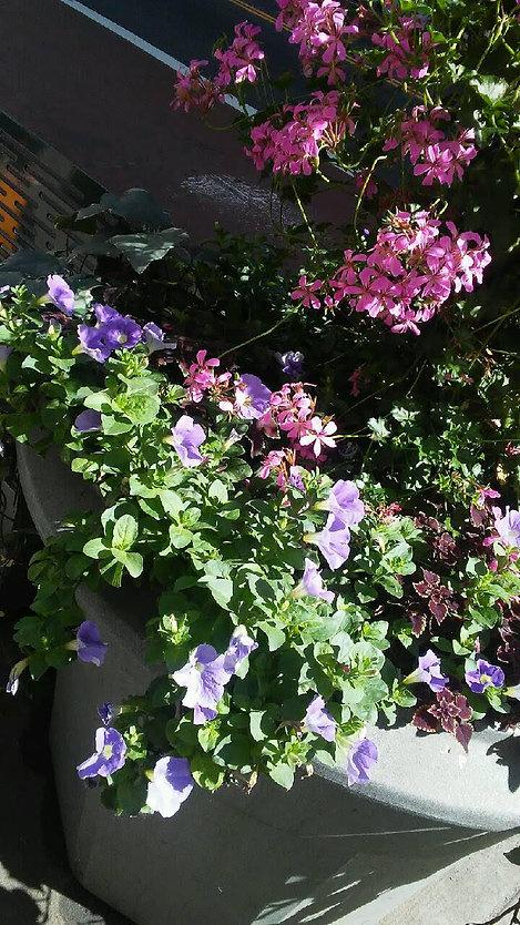 Pink Purple Flowers Pot Close Up.jpg