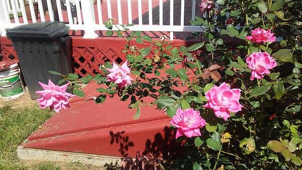 Rose Bush Side.jpg