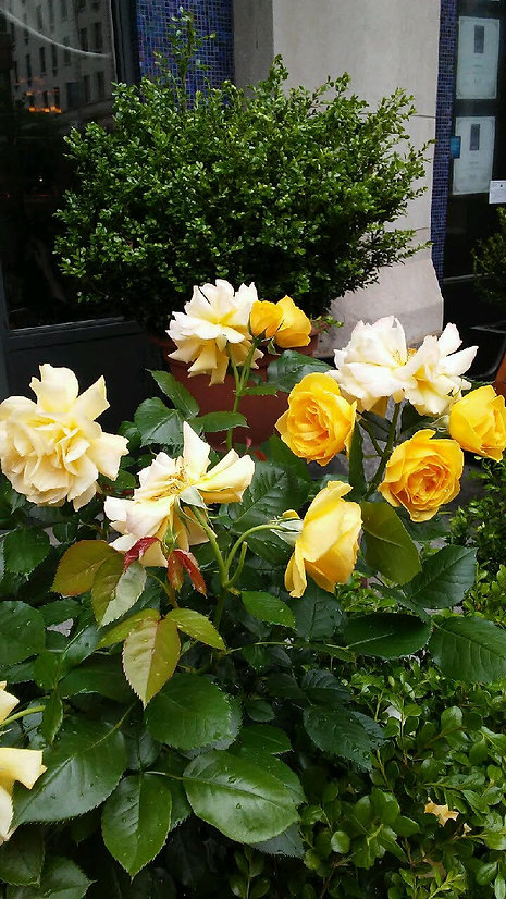 Yellow Roses and Extra.jpg