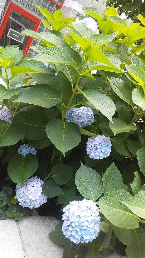 Blue Hydrangea 2.jpg