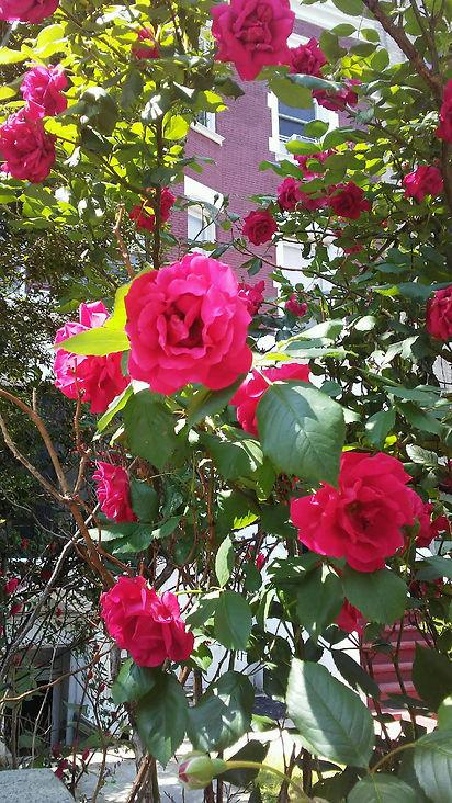 Close up of Pink Roses.jpg
