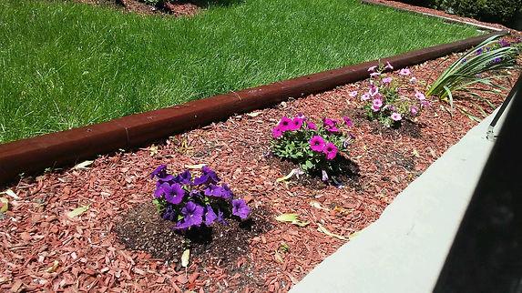 Line of Petunias.jpg