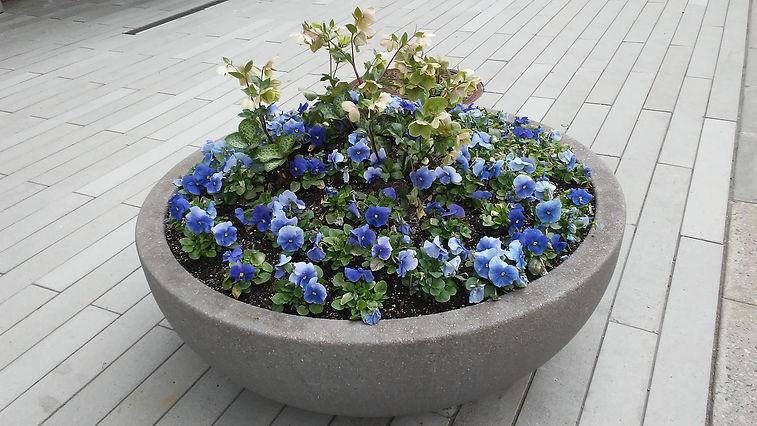 Blue Flowers in Pot.jpg