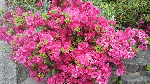 Grandma's Pink Flowers 1.jpg
