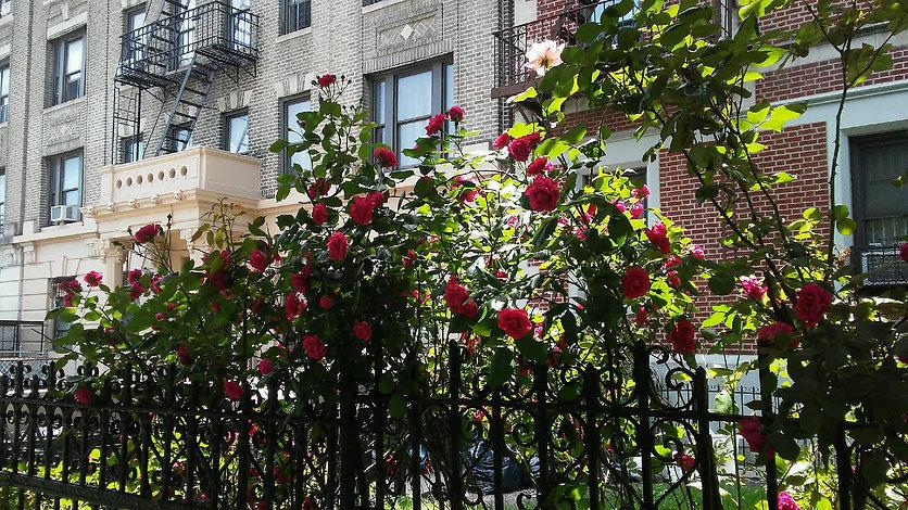 Shaded Roses Gated.jpg