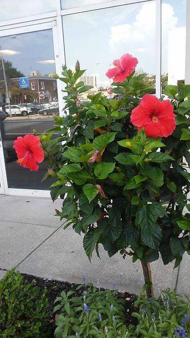 Rockville Center Red Hibiscus.jpg