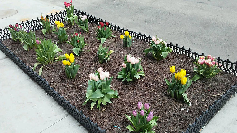 Colorful Tulips 1.jpg
