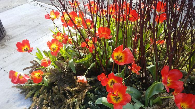 Blooming Tulips 1.jpg