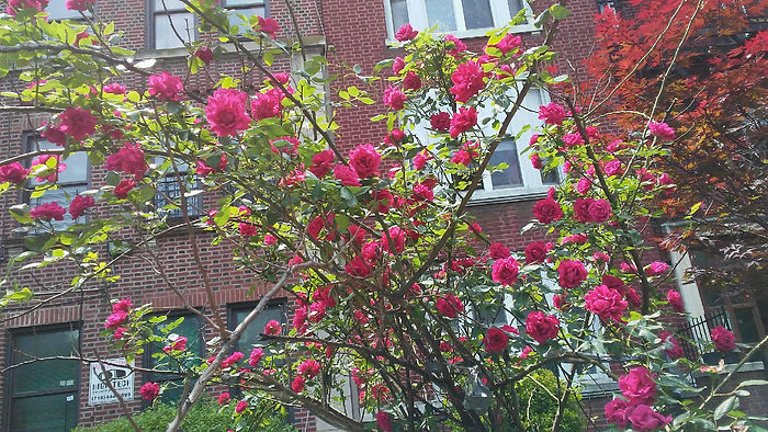 Rose Tree Front View.jpg
