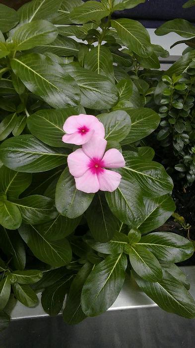 Petunia Pink 2.jpg