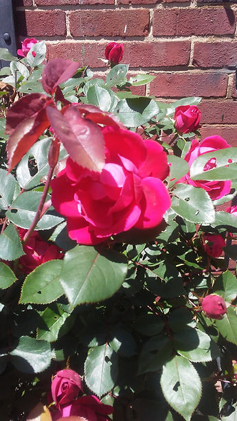 Bright Spring Rose.jpg