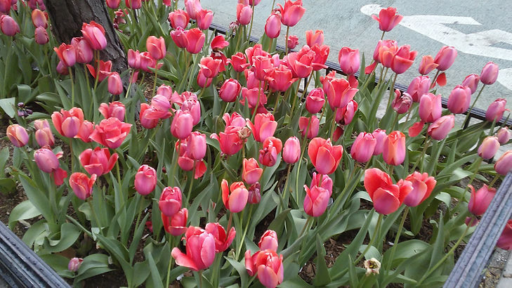 Red Tulips 5.jpg