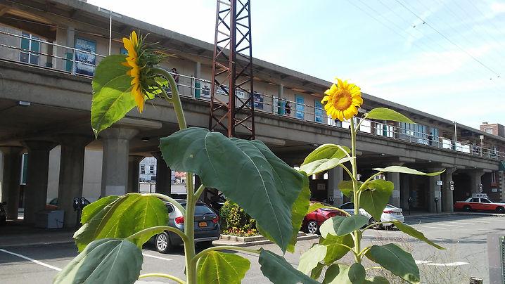 Sunflowers Rockville Center Station.jpg