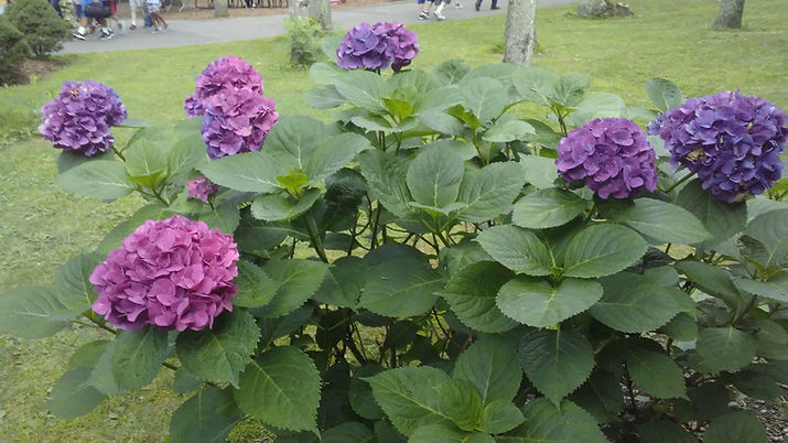 Purple Hydrangeas.jpg