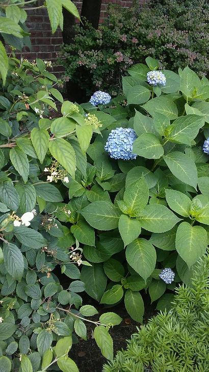 Blue Hydrangea Leafy 1).jpg