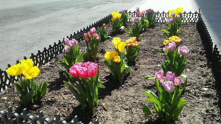 Colorful Tulips 4.jpg