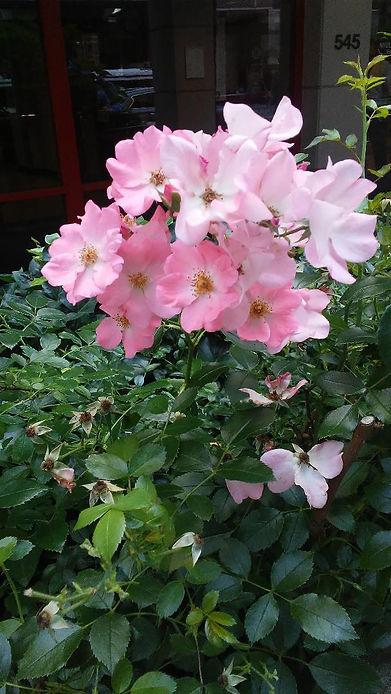 Light Pink Flowers.jpg