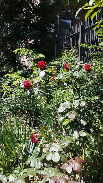 Light Red Roses.jpg