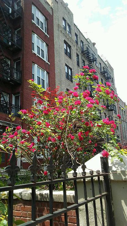 Bright Tree of Roses.jpg