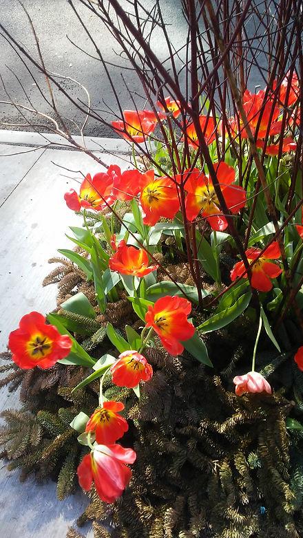 Blooming Tulips.jpg