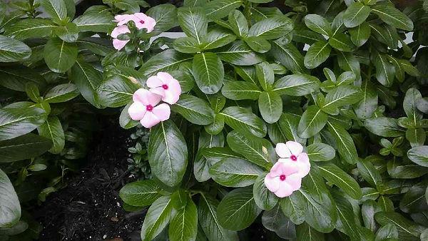 Petunia Pink.jpg