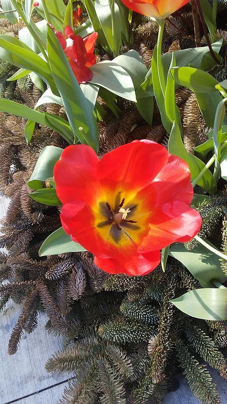 Blooming Bright Tulip.jpg