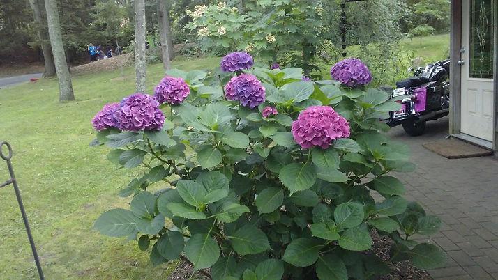 Purple Hydrangeas 1.jpg