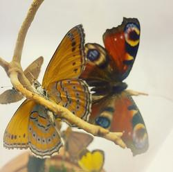 Harlequin   Peacock butterflies