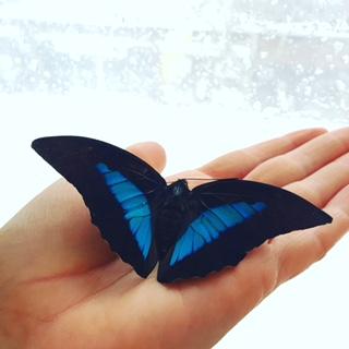 Blue Swallowtail