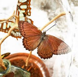 Harlequin Butterfly (closeup)