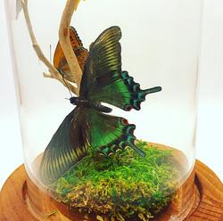 Black Alpine Swallowtail (closeup)