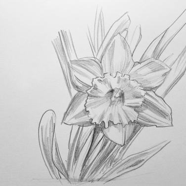 Daffodil three