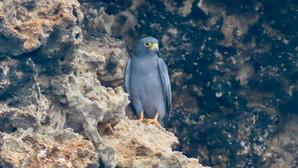 Birding Jazan Province (Part Two): Sabya and the Farasan Islands