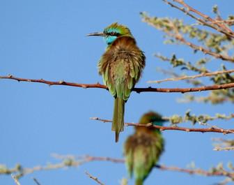 Birding Saudi's Riyadh Province