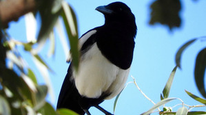 موعدٌ صباحي مع طائر العقعق في بللحمر: لقاءات حلوة مُرّة مع أحد أندر الطيور في العالم