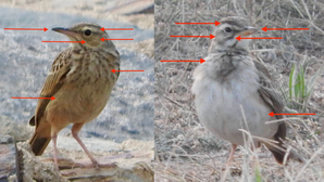 Long-billed vs. African Pipit