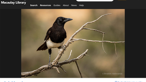 eBirders Shining a Brighter Light on the Distribution, Habitat, and Vocalizations of the Asir Magpie