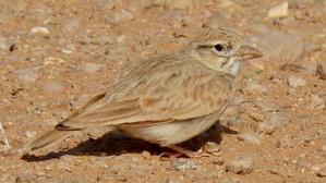 The Arabian Dunn's Lark, Desert Enigma