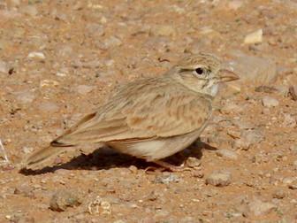 The Arabian Lark, Desert Enigma
