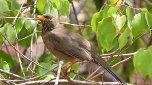 Birding the Al Baha Region