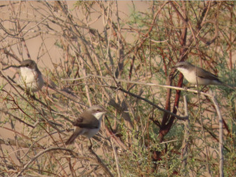 The Lesser Whitethroat Complex